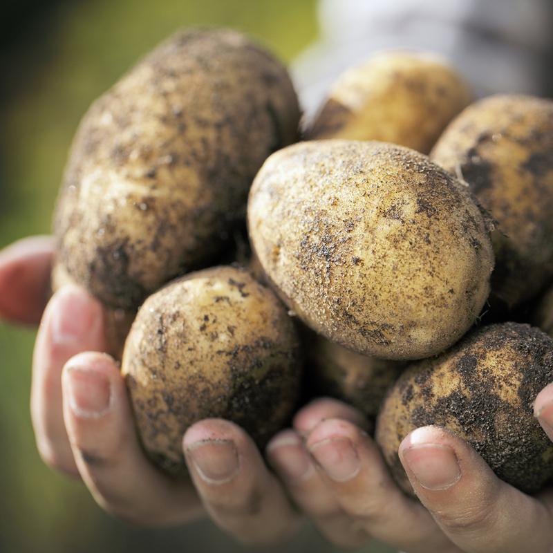 Aardappel Doré NIEUWE OOGST